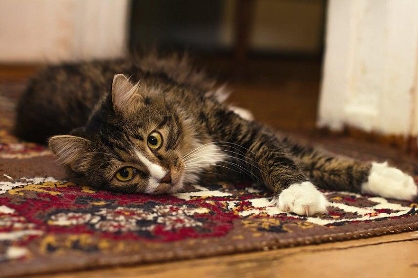 חתול עייף שוכב על שטיח מפואר ומסתכל למצלמה
