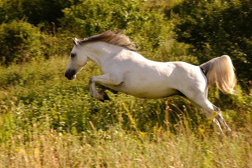 סוס לבן וחזק עם עשב בפה רץ וקופץ בשדה פתוח