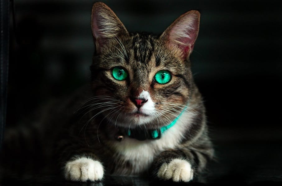 חתול עם עיניים ירוקות בוהקות מסתכל על המסך