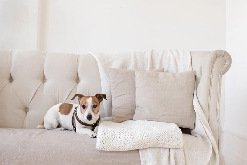 כלב קטן ומעורב שוכב על הספה החדשה